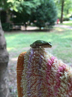 カエルの写真・画像素材[228521]