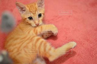 猫の写真・画像素材[230941]
