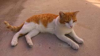 猫の写真・画像素材[230047]
