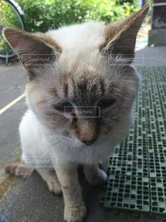 猫の写真・画像素材[230164]