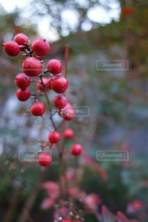 赤い実の写真・画像素材[856263]