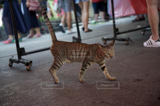 猫の写真・画像素材[230934]