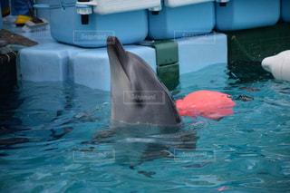 イルカの写真・画像素材[232404]