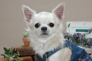 犬の写真・画像素材[235550]