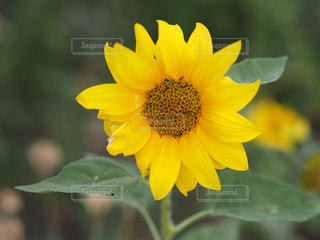 黄色の花の写真・画像素材[1224726]