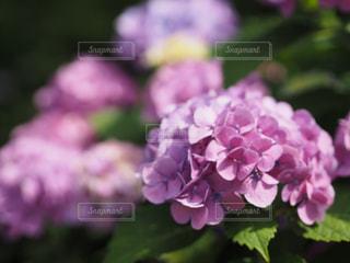 紫陽花の写真・画像素材[1224730]