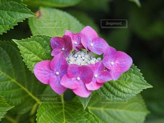紫陽花の写真・画像素材[1224731]