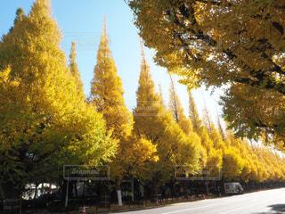 神宮外苑いちょう並木の写真・画像素材[1653519]