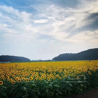 ヒマワリ畑の写真・画像素材[2376283]