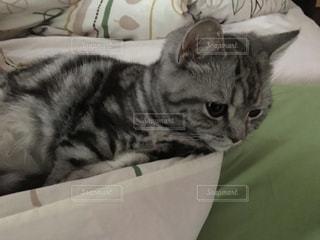 猫の写真・画像素材[247445]