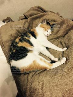 ソファの上で眠っている猫の写真・画像素材[756541]