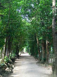 備瀬のフクギ並木の写真・画像素材[1615427]