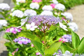 大阪池田市の久安寺にある紫陽花の写真・画像素材[2249877]