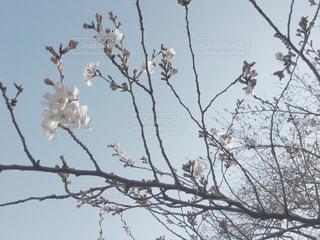 公園の桜の写真・画像素材[234716]