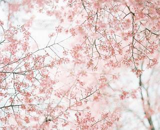 桜の写真・画像素材[7780]