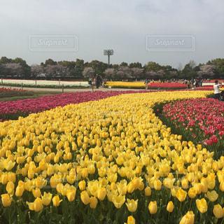 フィールドに黄色の花の束の写真・画像素材[1119110]