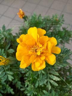 黄色い花の上に座って花の花瓶の写真・画像素材[741249]