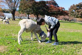 自然の中でヤギと息子の写真・画像素材[1016644]