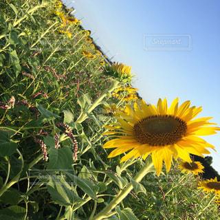花の写真・画像素材[237150]