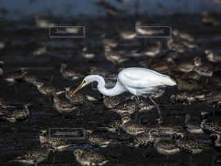 干潟の鳥の写真・画像素材[751482]