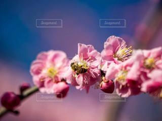 梅と蜂の写真・画像素材[1036215]
