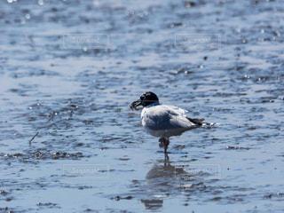 干潟の鳥の写真・画像素材[1036217]