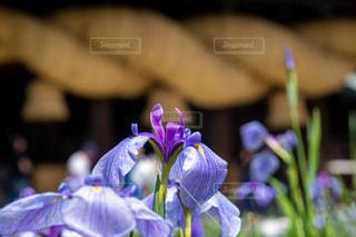 紫色の花のクローズアップの写真・画像素材[2223886]
