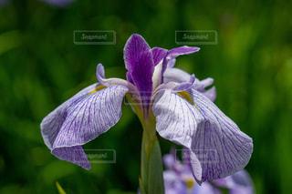 紫色の花のクローズアップの写真・画像素材[2223891]