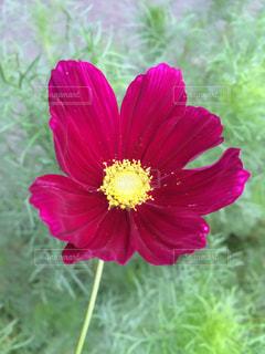花の写真・画像素材[239730]