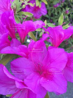 花の写真・画像素材[239771]