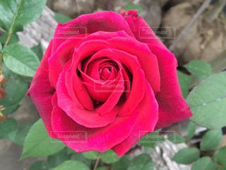 花の写真・画像素材[240899]