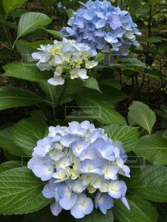 花の写真・画像素材[646102]