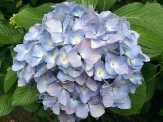 花の写真・画像素材[646103]