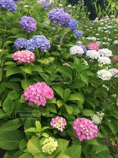 紫陽花乱れ咲きの写真・画像素材[646104]