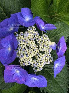 もう一つの紫陽花の写真・画像素材[646105]