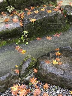 ちらし紅葉の写真・画像素材[2740293]