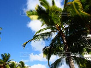 椰子の木の写真・画像素材[240082]