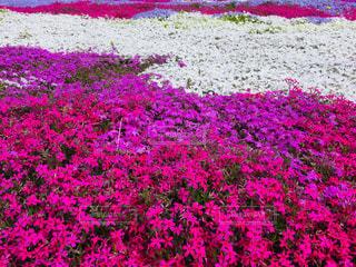 芝桜の写真・画像素材[2067907]