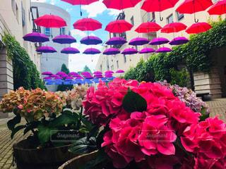 紫陽花と傘の写真・画像素材[2231338]