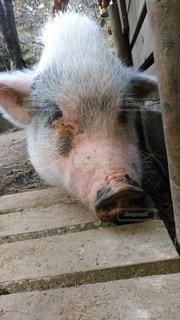 ピンク,かわいい,牧場,動物園,ブタ,豚,六甲,ミニブタ