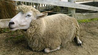 No.240385 羊