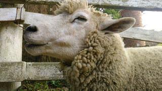 No.240386 羊