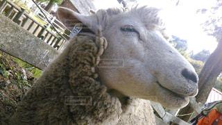 No.240387 羊