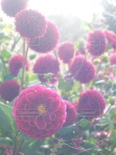 花の写真・画像素材[6558]
