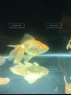 No.365257 金魚