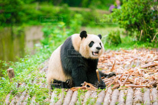 草の中を歩くパンダの写真・画像素材[964795]