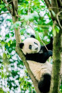 枝に横になっているパンダの写真・画像素材[966580]