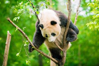 枝に横になっているパンダの写真・画像素材[966581]