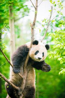 パンダは熊森の前に座っての写真・画像素材[966583]