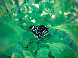 昆虫の写真・画像素材[241782]